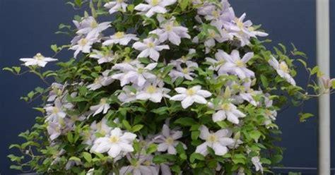 clematis  hanging basket garden glory pinterest clematis gardens  plants