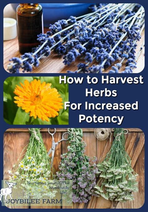 how to harvest herbs when to harvest herbs for increased potency and flavor