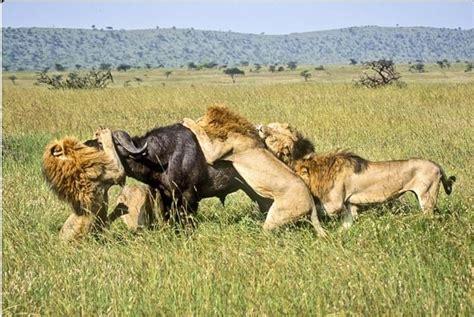 animales carnivoros ejemplos alimentacion  curiosidades