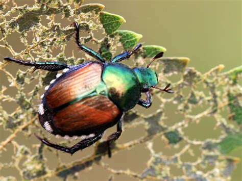 Japanese Beetle Alert — Yard & Garden Report