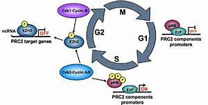 Model For Regulation Of Ezh2 Activity During Cell Cycle