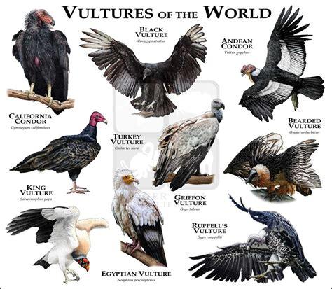 vultures   world fine art print nice animal