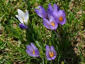Welche Blumen Blühen Im Winter Draußen : fr hlingsblumen fr hjahrsblumen ~ Watch28wear.com Haus und Dekorationen