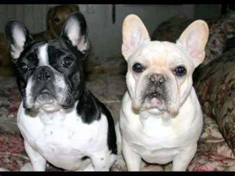 baixinho bulldog frances  french bulldog le bouledog francais youtube