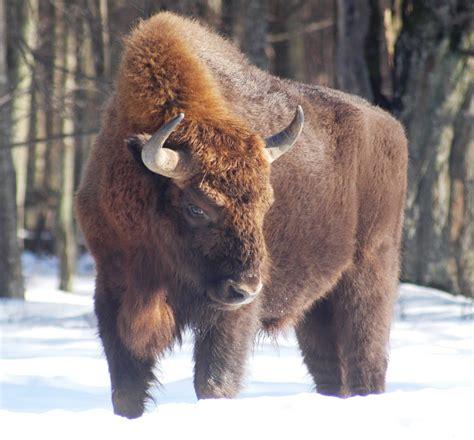 alpha male  spanish bison herd beheaded  suspected