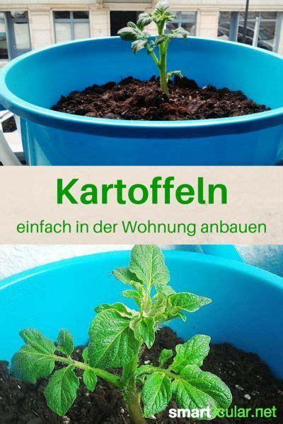 tomaten in der wohnung züchten kartoffeln im eimer anbauen so klappt es sogar in der wohnung pflanzen selbst z 252 chten