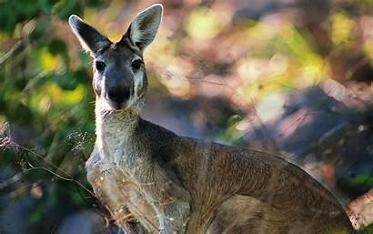 Kangaroo Kangaroos Nature Wallpapers Marsupial Desktop Wallaby