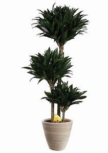Zimmerpflanze Große Blätter : zimmerpflanze drachenbaum compacta 45 cm kaufen otto ~ Lizthompson.info Haus und Dekorationen