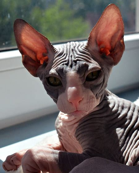 What To Consider When Buying A Hairless Sphynx Cat