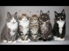 cats me wallpapers maine coon kittens
