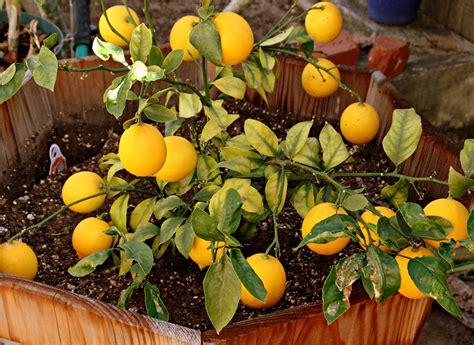 meyer lemon meyer lemon chess pie and my first crop