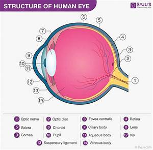 Structure Of The Eye  With Labelled Human Eye Diagram