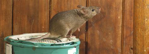 rat control expert treatment  rat infestations rentokil