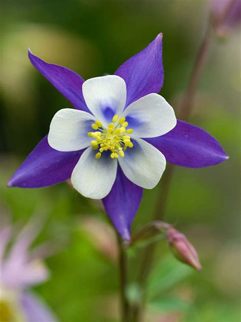 the columbine flower colorado native plants archives page 8 of 8 lifescape