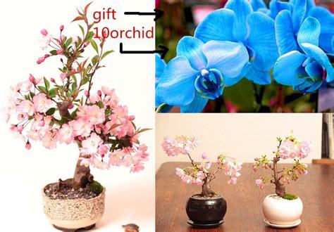 send bonsai tree gift 10 pcs pink cherry blossom tree seeds send 50