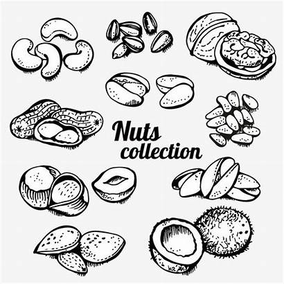 Clipart Nuts Outline Roasted Nut Cashew Painted