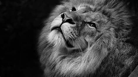 Lion Monochrome 4k Wallpapers