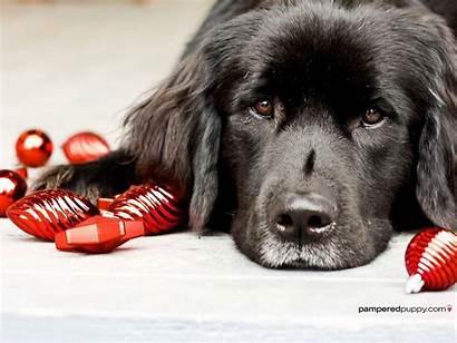Christmas Dogs Newfoundland Dog Bulbs Background Wallpapers