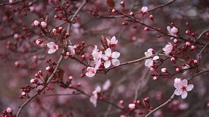 Blossom Cherry Backgrounds Wallpapers Blossoms 4k Computer