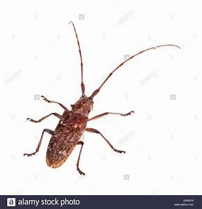The Carolina pine sawyer longhorned beetle, Monochamus ...