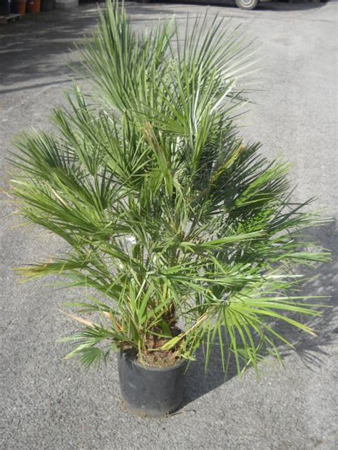 plantes m 233 diterran 233 ennes plantes arbres haies arbustes plantes aromatiques arbres