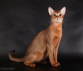 abyssinian cat abyssinian cat pictures abyssinian cat