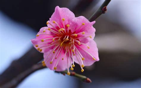 flor rosada fondos de pantalla hd wallpapers hd