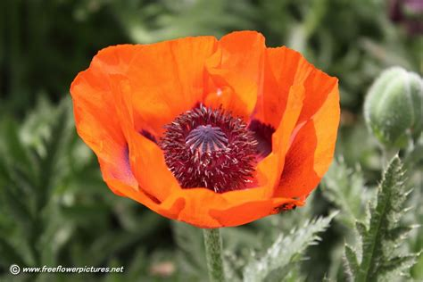 poppy flowers pictures big poppy flower picture flower pictures 1083
