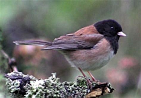 common birds  san francisco bay area sfbaywildlifeinfo