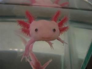 becker2013 - Dominick - Axolotl