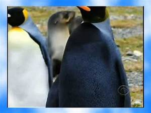 The Mystery of the All-Black Penguin - Solved! - YouTube