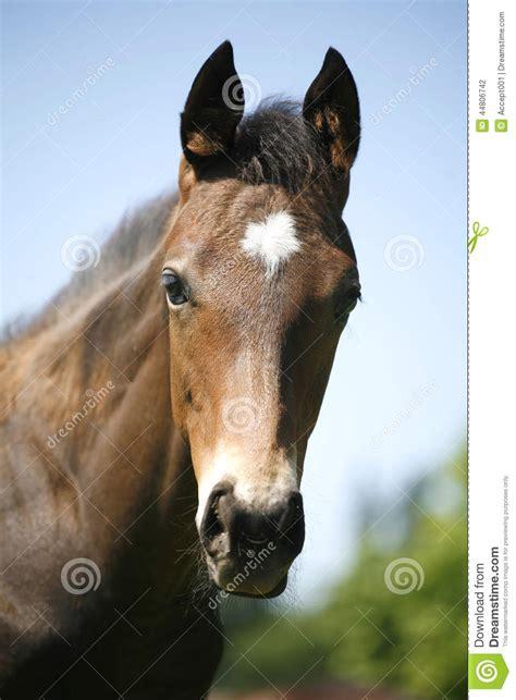 portrait  nice bay baby horse stock photo image