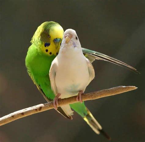 budgie bird all about parakeets noktys