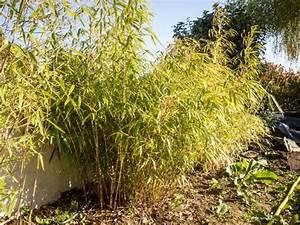 Bambou A Planter : 5 vari t s de bambou non tra ant planter au jardin ~ Premium-room.com Idées de Décoration