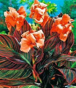 Tropische Pflanzen Kaufen : canna durban top qualit t online kaufen exotische pflanzen pflanzen und blumenzwiebeln pflanzen ~ Watch28wear.com Haus und Dekorationen