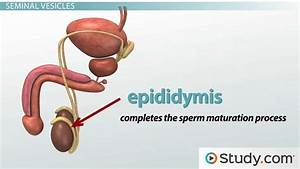 Photos  Male Reproductive System Video