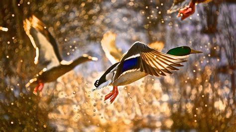 wallpaper duck flight drops sun animals
