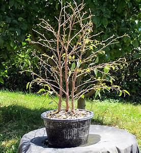 Ficus Benjamini Verliert Alle Blätter : rettung ficus benjamini ~ Lizthompson.info Haus und Dekorationen