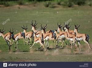 Herd Auf Englisch : eine herde von springbock antilopen antidorcas marsupialis ausgef hrt kgalagadi s dafrika ~ Orissabook.com Haus und Dekorationen