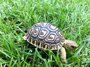 leopard tortoise for sale baby leopard tortoises for sale ...
