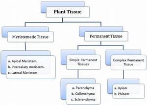 Anatomy Of Flowering Plants Class 11 Notes Biology