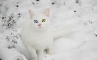 snow cats cat in snow cats wallpaper