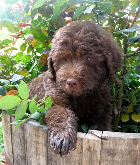 Dogs That Shed Little Hair by Southern Charm Labradoodles American And Australian
