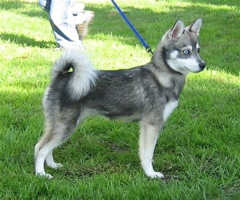 non shedding husky cross miniature husky for sale with price range and care tips
