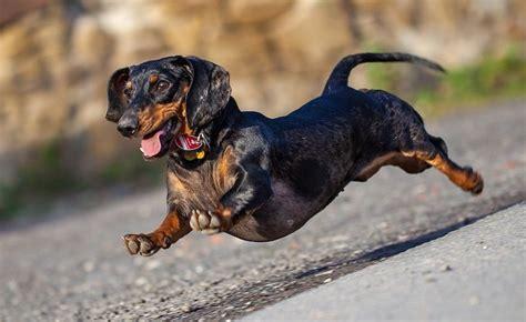beautiful dachshund dog   images