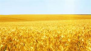 Wheat field wallpaper #8235