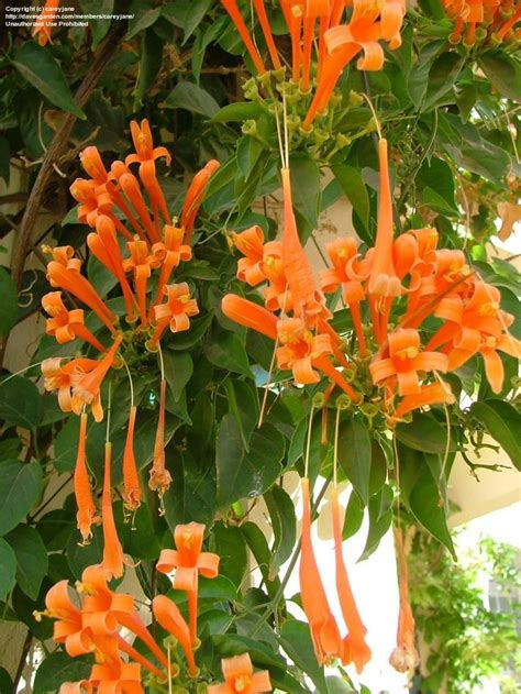 25+ Best Ideas About Climbing Flowering Vines On Pinterest