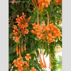 25+ Best Ideas About Climbing Flowering Vines On Pinterest