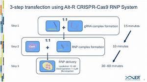 Increasing Genome Editing Efficiency With Optimized Crispr