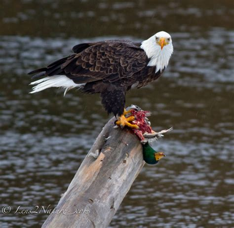 what do mallard ducks eat zenfolio michael thompson eagles and opsreys bald eagle eating mallard duck